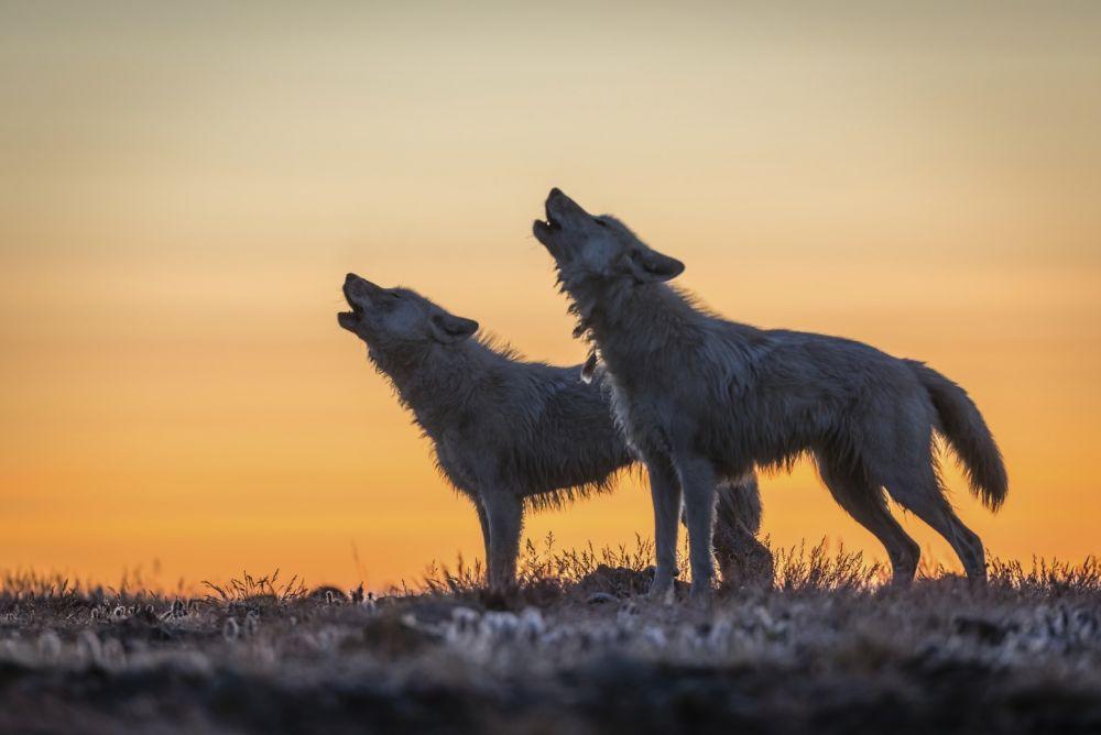 LA LEYENDA DEL LOBO BLANCO en National Geographic Wild (Ronan Donovan)